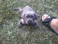 One large blue brindle male and 2 black females. ICCF