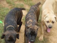 ICCF registered Cane Corso Puppies born April 28,2015.