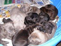 Cane Corso PUPS born 11/25, Brindles, Blues and Fawn. 3