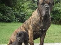 WE HAVE 2 PUPS LEFT OUT OF CAPONE AND FIERCE. 1 MALE