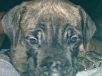 2 females one brindle one blue brindle 6wks old Tails
