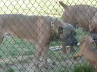 Iccf reg cane corso pups,These puppies were whelped