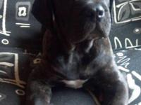 Luke is an awesome black brindle ICCF registered Cane