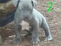 We have 1 blue brindle male cane corso. He just turned