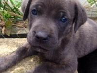 ICCF registered Cane Corso puppies available to great