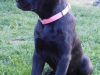 We currently have 1 wonderful Cane Corso puppy left.