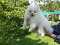 Available very fluffy ice- white pomeranian puppy