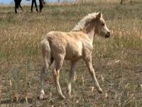 Icelandic Filly with top blood lines, and extremely