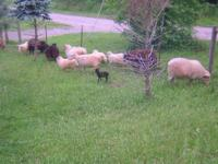 Up for sale is a hobby flock of Icelandic sheep. I have