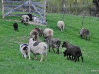 Prices at $150.00 - $500.00 Flock of Icelandic sheep