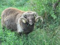 I have 12 Icelandic sheep available. 2 registered