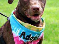 Ida is a sweet 7 month old chocolate lab mix. When we