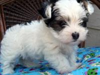 Ewoak Puppies! Full IDCR Registration! BORN 3/23/15