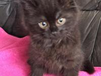 Gorgeous solid black male purebred siberian kitten. DOB