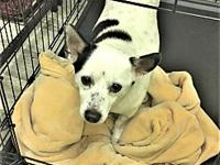 Ike's story Ike is a 7 year old Chihuahua mix weighing
