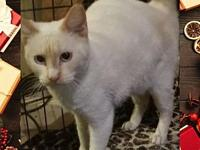 Ike's story Ike is a gorgeous flame point Siamese. His