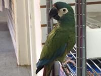 miny macaw, 2 years ,DNA papers beautiful colors,are
