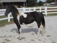 Cougar is a sweet, gentle horse suitable for any level