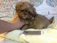 Beautiful litter of Shih Tzu puppies. Up to date on