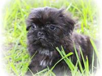 I have an adorable imperial ckc champion bloodline shih