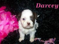 Imperial Choc/wht Shih Tzu females. Born Aug. 9th,