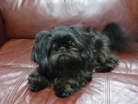 I have an Imperial Shih Tzu for Sale. His name is MILO