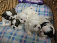 Five Male Imperial Shih Tzu Puppies are prepared for