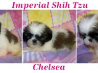 We have Imperial Shih tzu babies! Born 4/10/14 We have