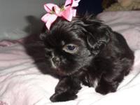 Abbi is a gorgeous dark solid black Imperial Shih Tzu