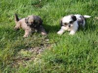 CKC registered male Imperial Shih Tzu puppies. Toy
