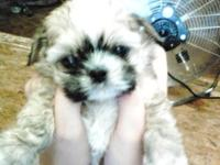 I have one male Imperial Shih-Tzu Puppy for sale. He is