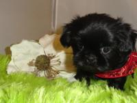 Andy is a gorgeous dark solid black Imperial Shih Tzu