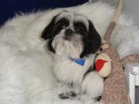Cosmo is a gorgeous black and white Imperial Shih Tzu