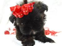 (JUST IN TIME FOR CHRISTMAS) Tiny imperial shih tzu