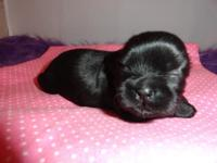Miah is strong black Imperial Shih Tzu puppy. Her coat