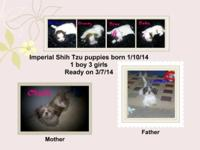 Beautiful Imperial Shih Tzu puppies, 1 boy, 3 girls
