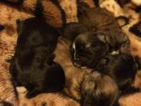 4 shorkies to rehome yorkie and imperial shih-tru