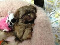 Come check my pleased and VERY healthy child shihtzu