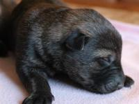 These puppies are sable and black sable coloring and