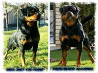 8 week old Import Pedigree German Rottweiler Puppies!