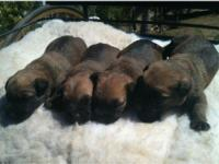 View my website : Irelandwheaten.com Puppies are ready