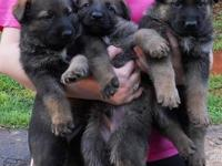 We have only one GSD left which is the female. She is 5