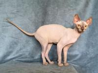 Offered is a gorgeous lilac colored Sphynx imported