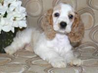 We have exceptional cocker Spaniel Puppies available to