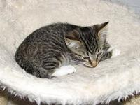 Inari (baby girl)'s story Meet Inari a brown tabby with