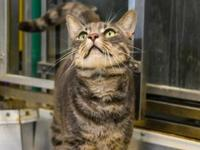 India's story I am one good-looking handsome grey tabby