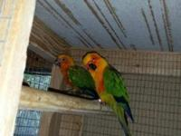 Beatiful birds we sell them by pair the indian ring