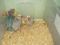 I have a few Indian Ringneck babies left, the last of