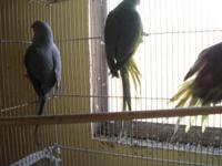 For Sale Indian Ringneck Breeders. One year old birds.