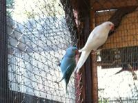 Indian ringneck male/female pair---bonded. They are 2